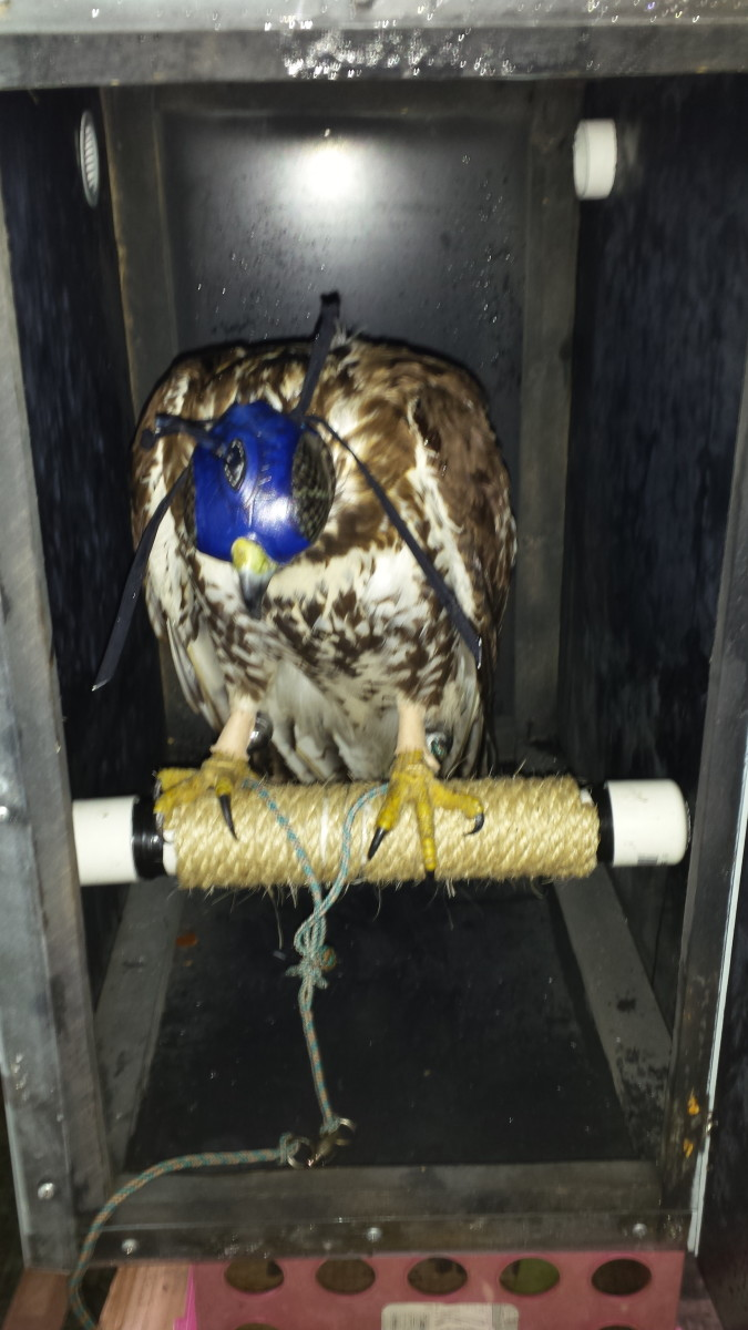 Starting a Journey in Falconry: The Manning Process