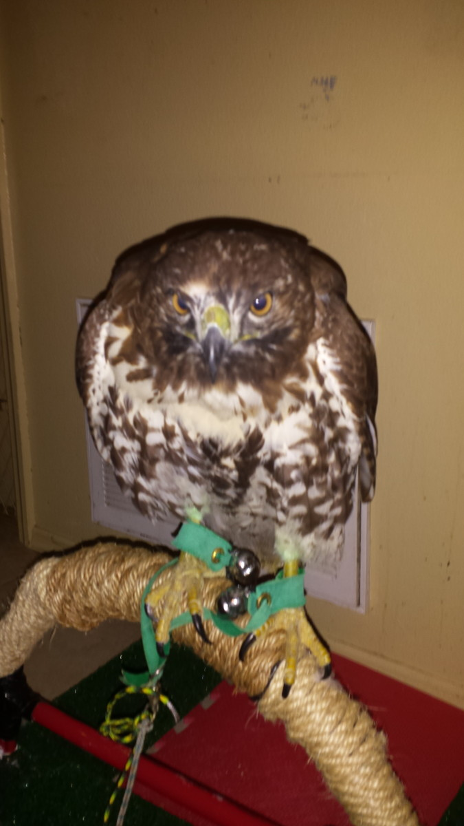 Living with a Red Tail Hawk. The personality is amazing.