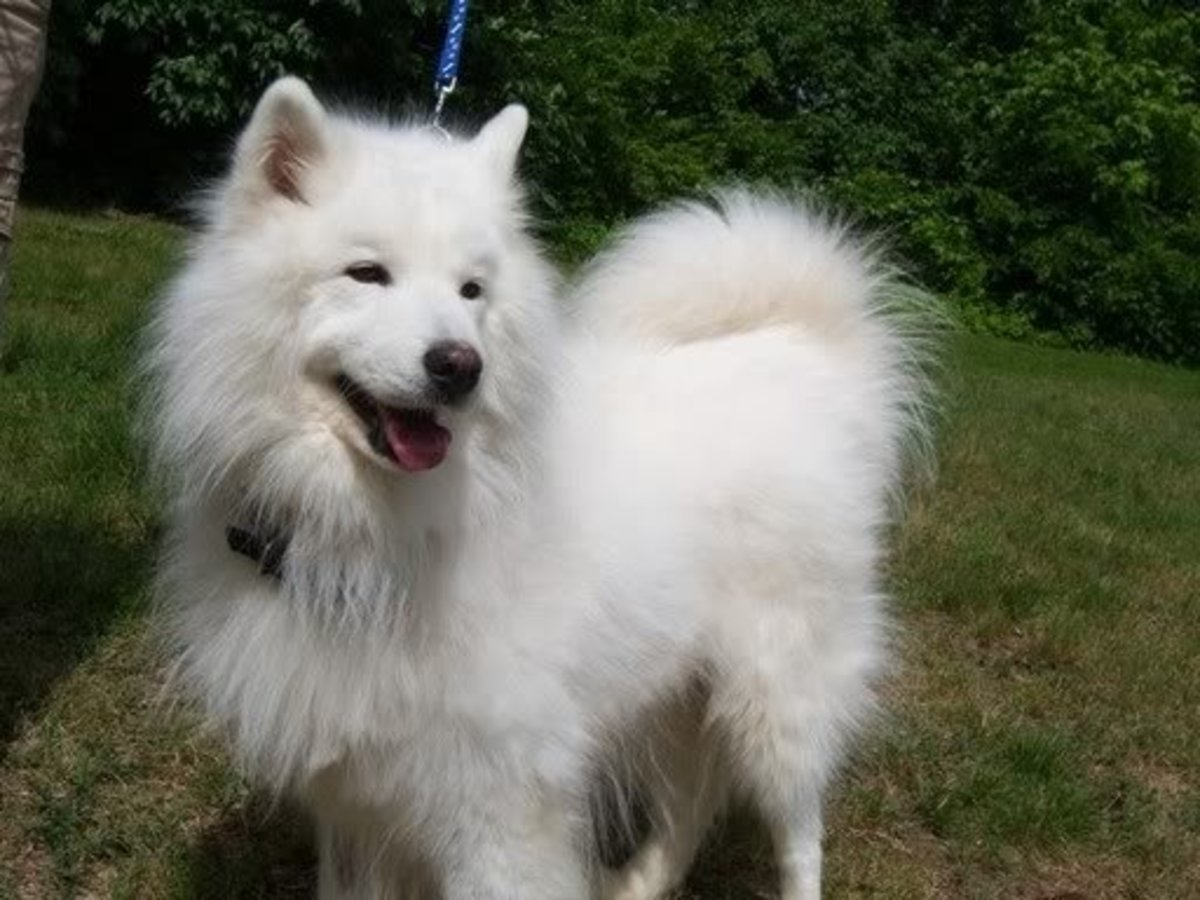 Samoyeds have a soft, wooly undercoat with harsh, fluffy overcoat that stands out from the body.