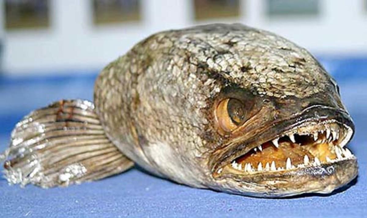 Snakehead Fish   Credit: Plantedtank