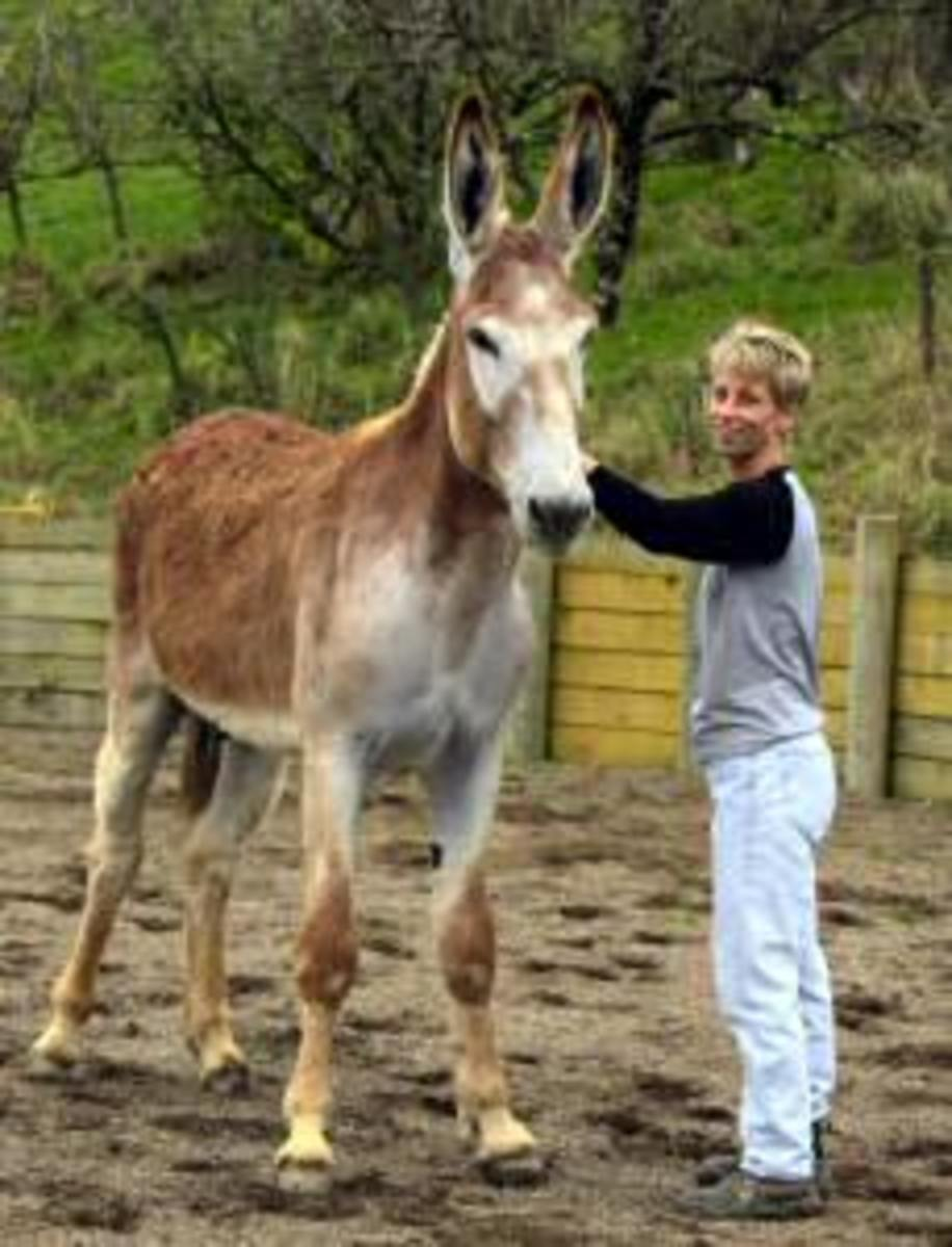 Mammoth Donkeys - Biggest, Largest Breed of Donkey in the World