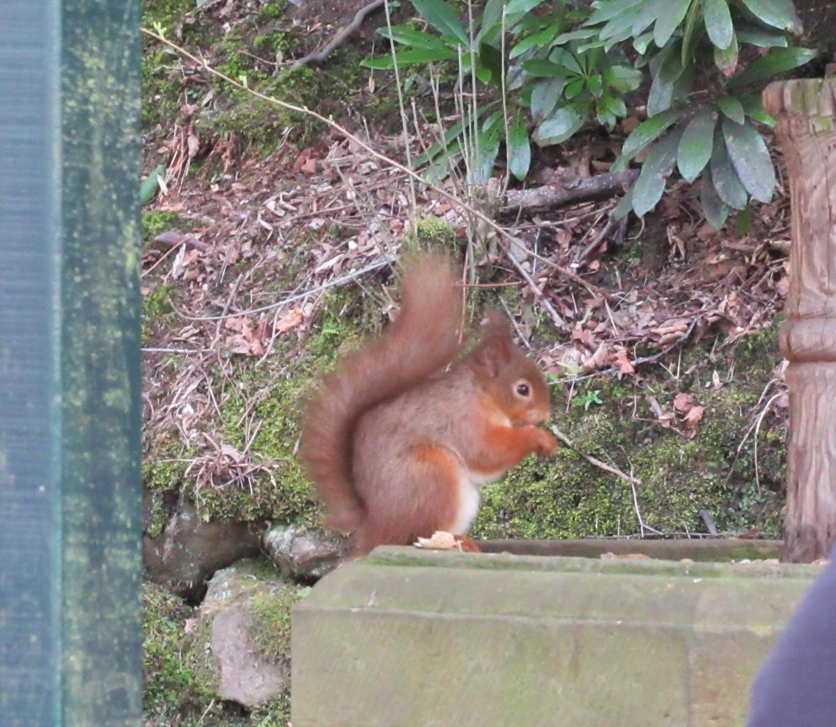 Red Squirrel Russett