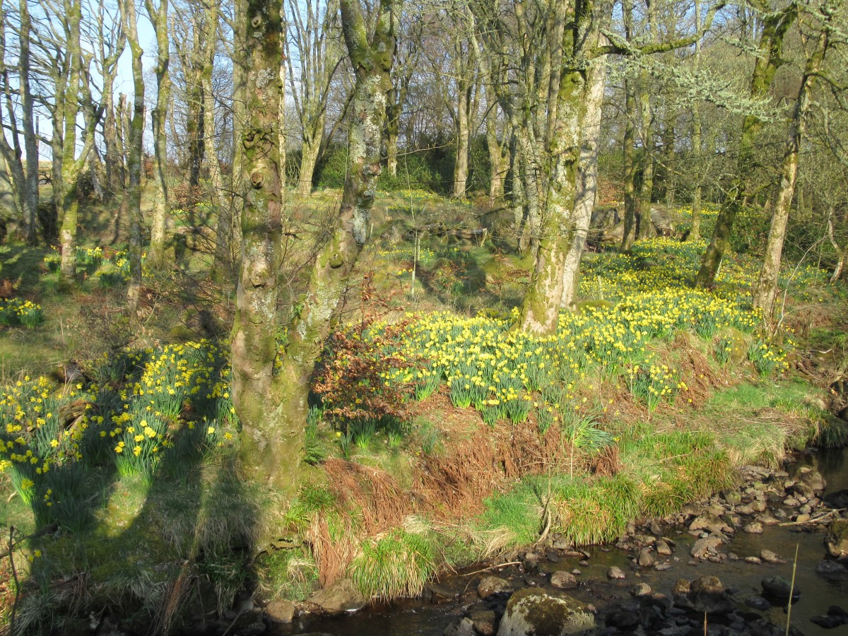 Daffodils 'neath the trees by a babbling brook