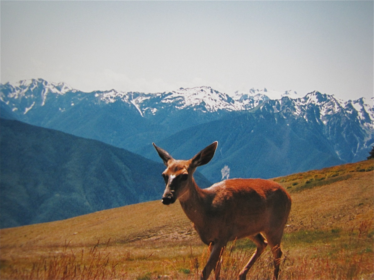 A visitor at Hurricane Ridge - Olympic National Park