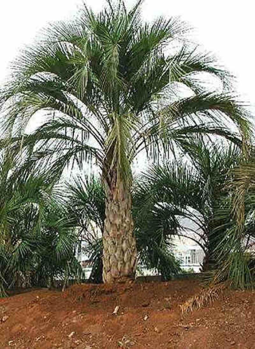 Yatay palm