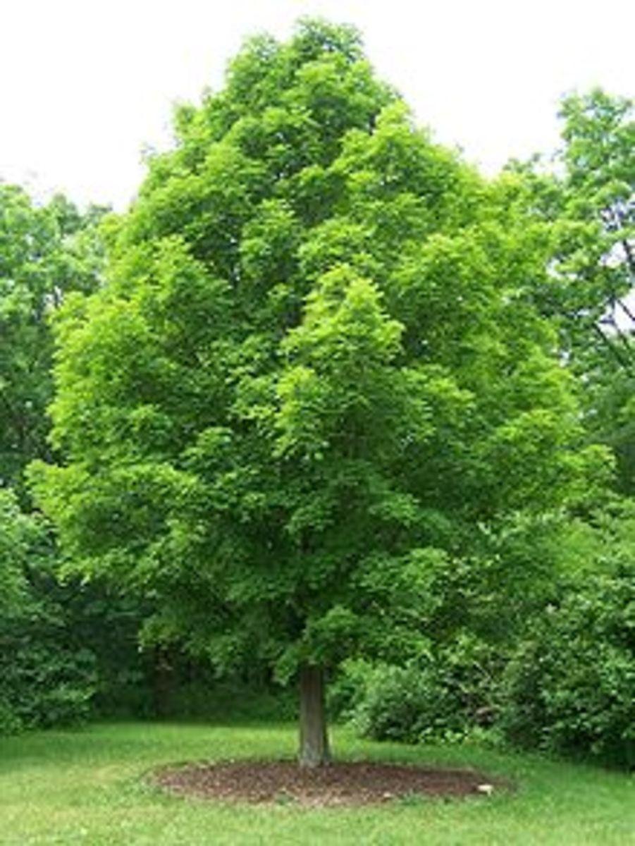 Sugar Maple by Bruce Marlin, Wikimedia Commons