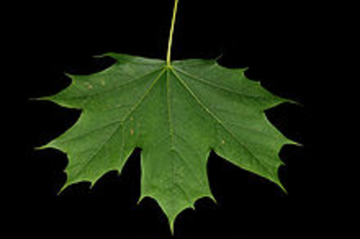 A Maple Leaf by Eric Baetscher, Wikimedia Commons