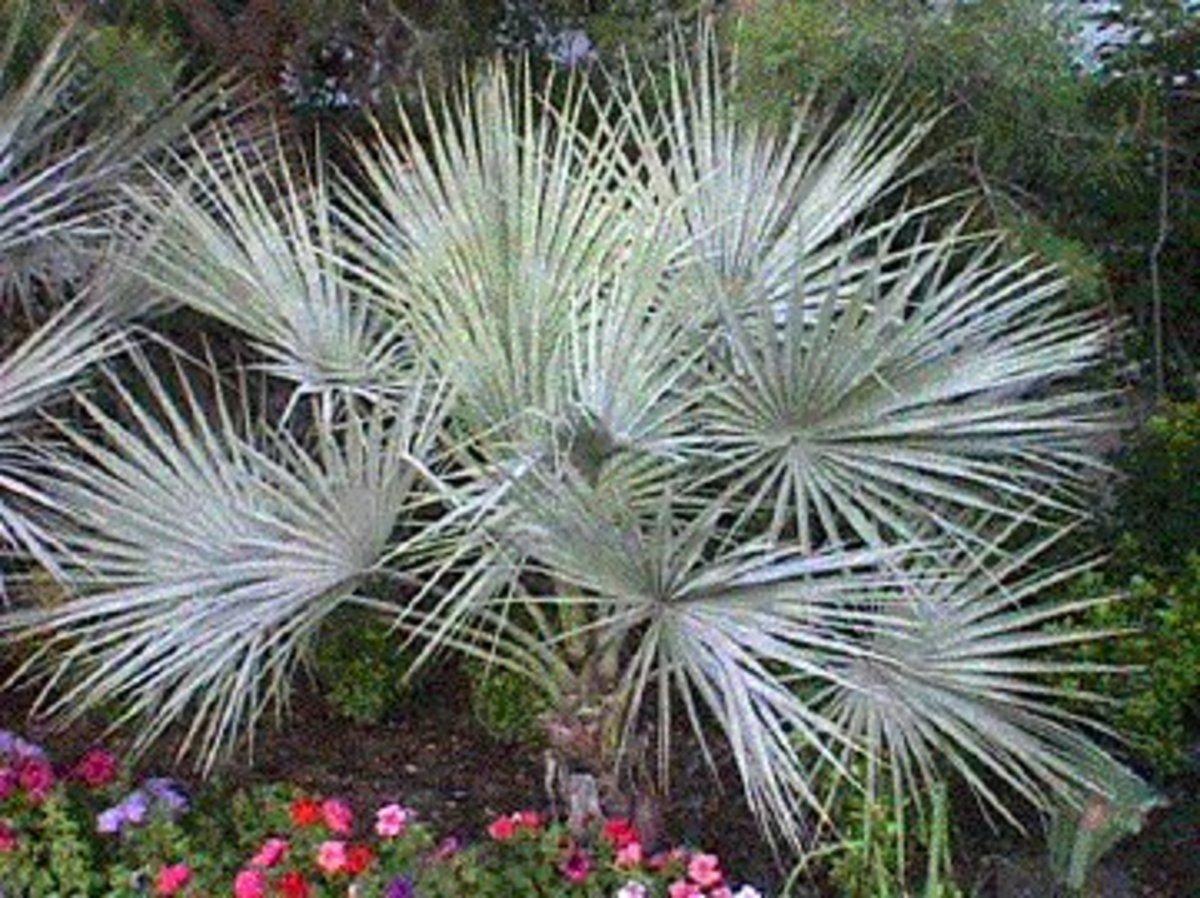 Blue Hesper palm