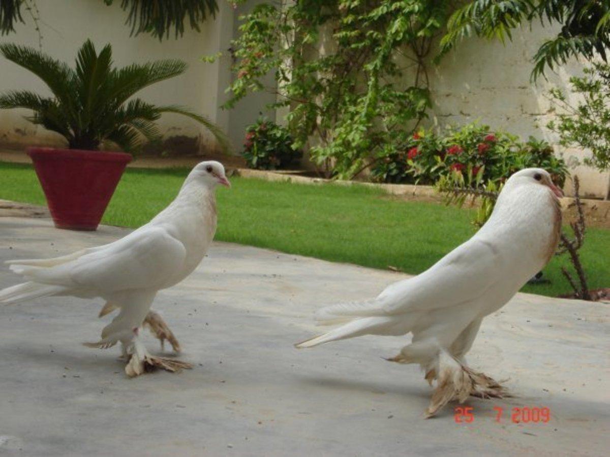 Pigeon in Faiz Mahal