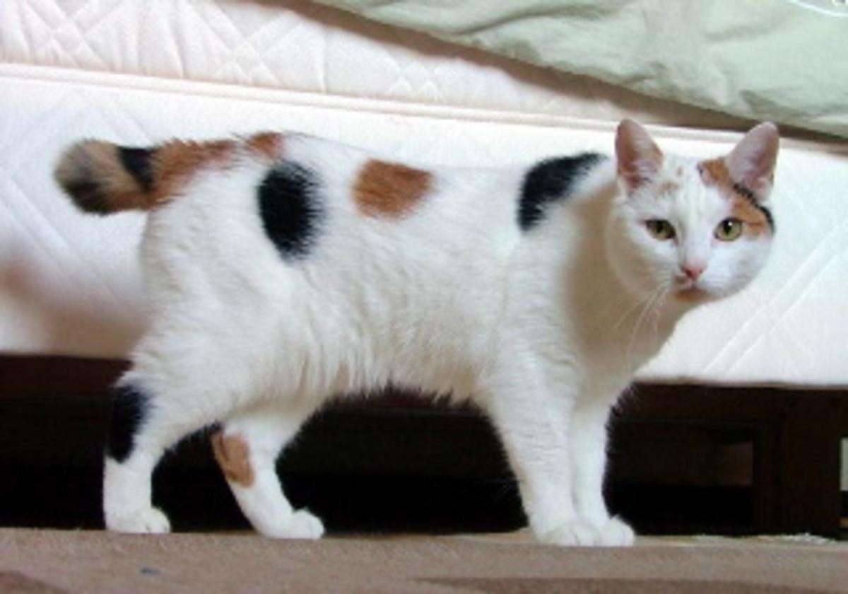 "Manx cat with ""bobtail""."
