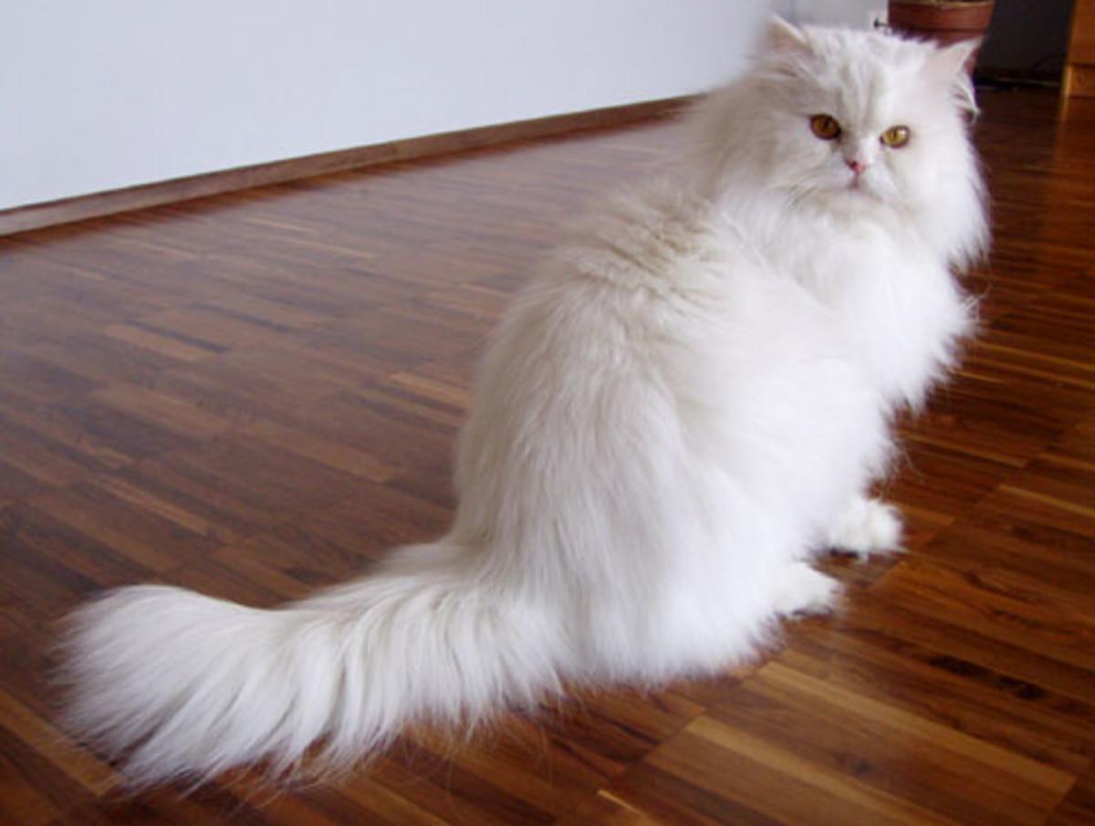 A white Persian