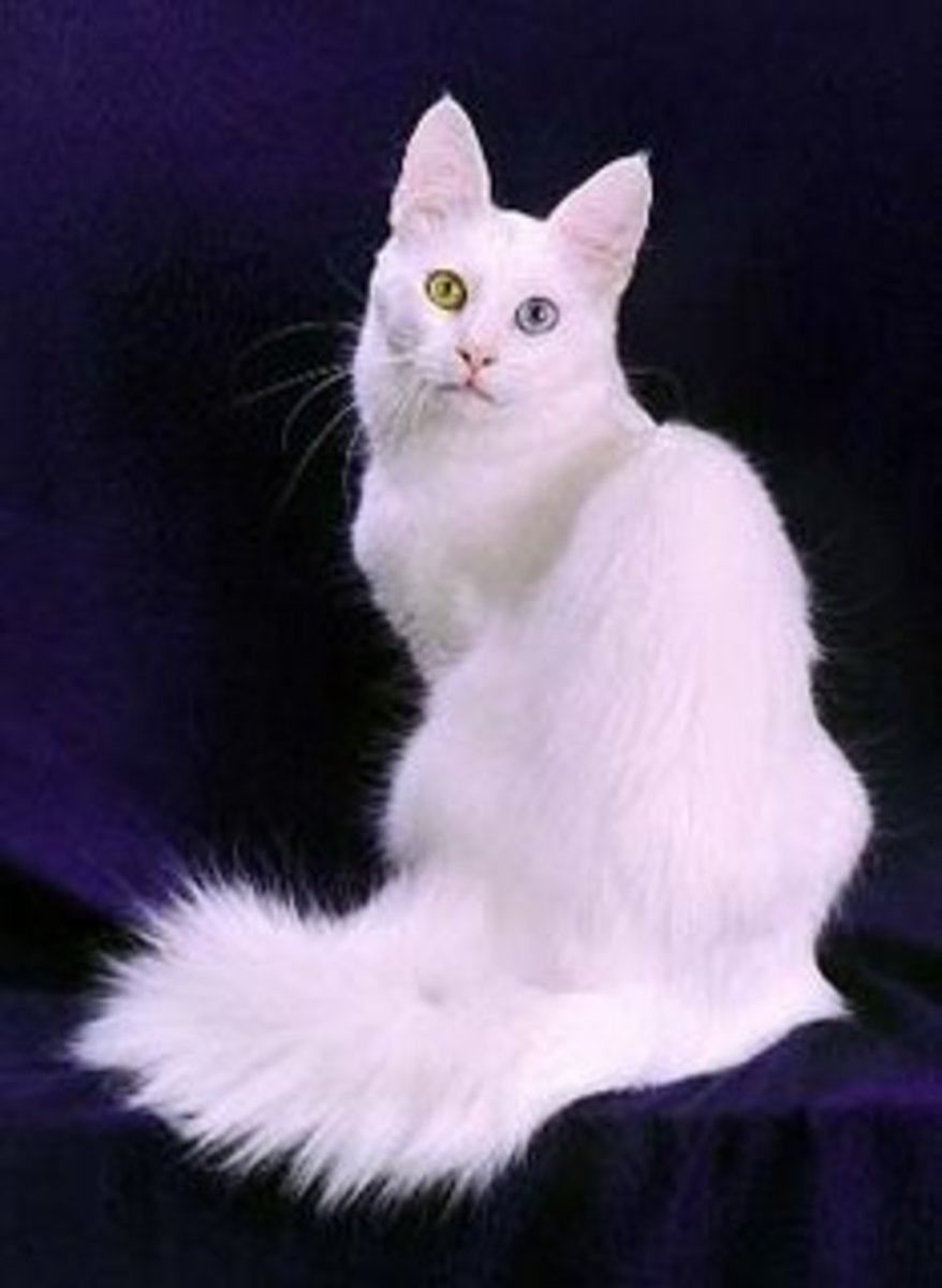 Turkish Angora,with one green eye and one blue eye.