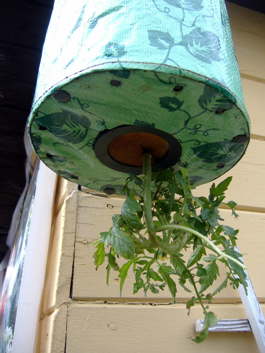 This is my first year doing vertical gardening. This is my Topsy Turvy container in my backyard