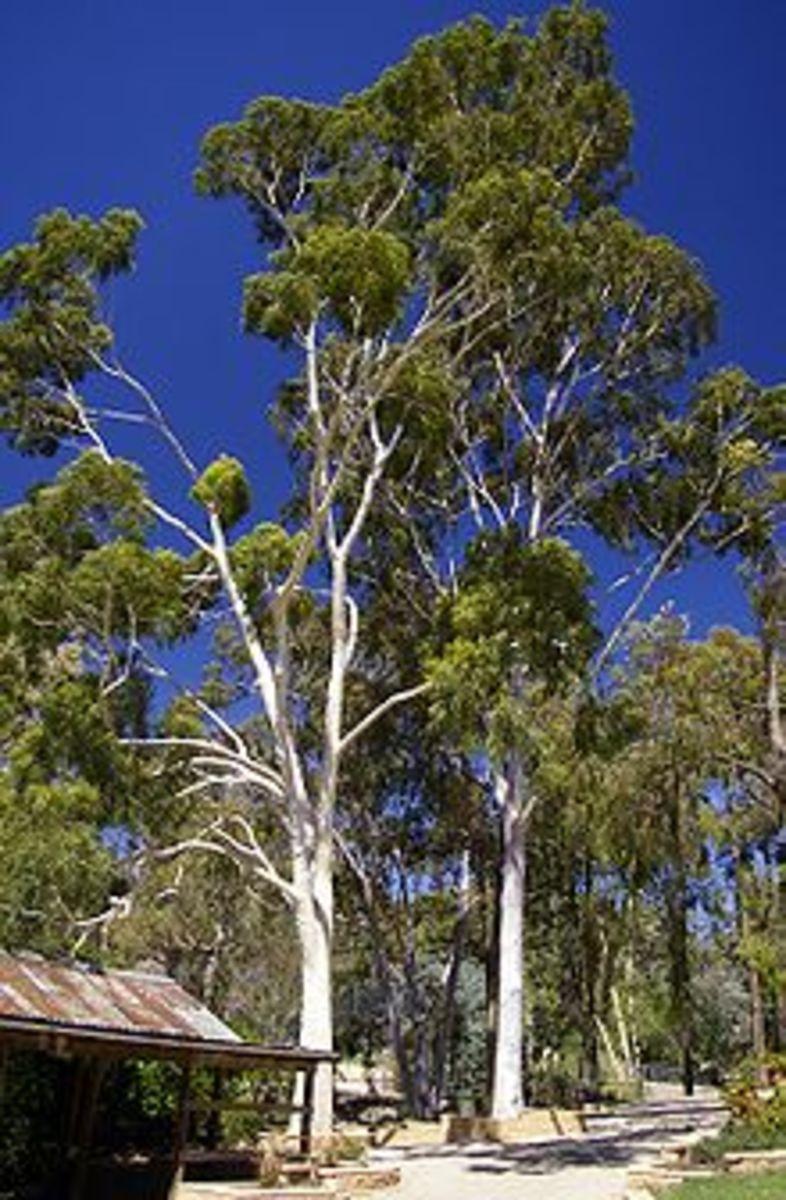 coryndia citriodora courtesy of wikipedia.org