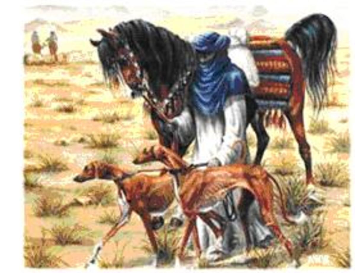 Azawakh 6