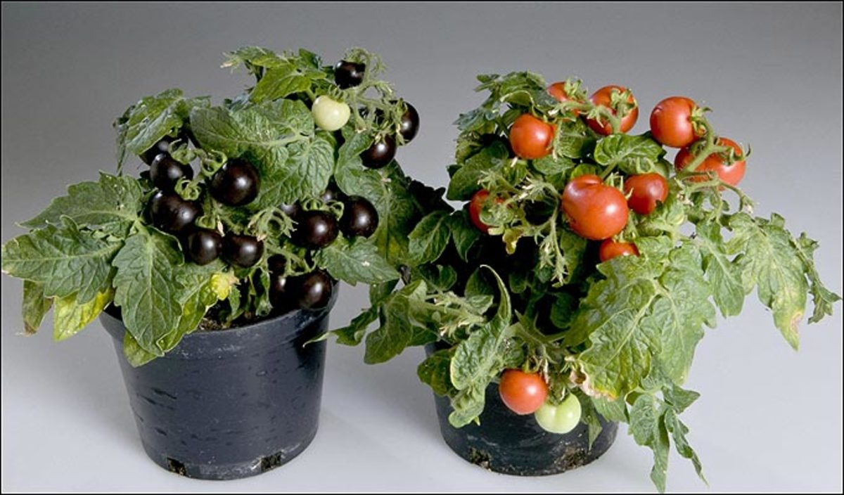 genetic modification of food essay