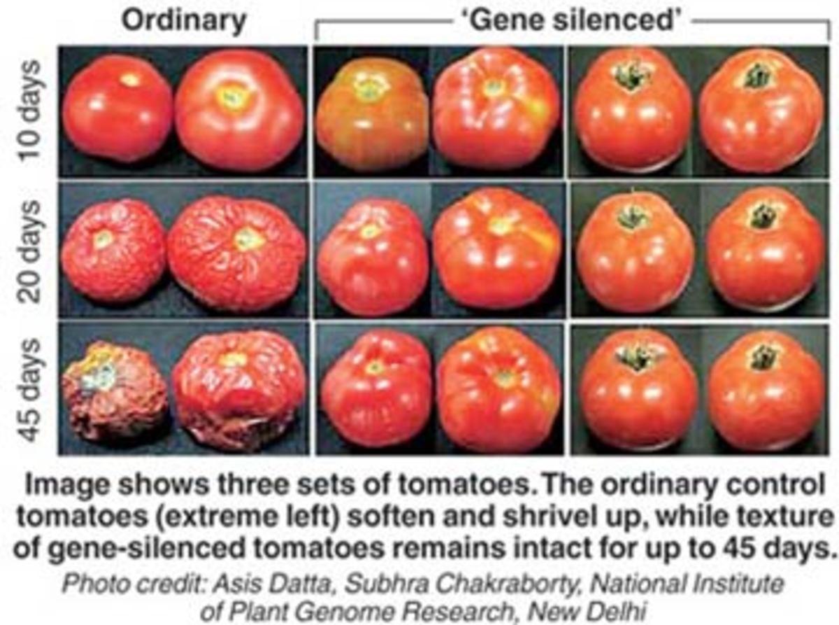 Genetically Modified Organisms - SlideShare
