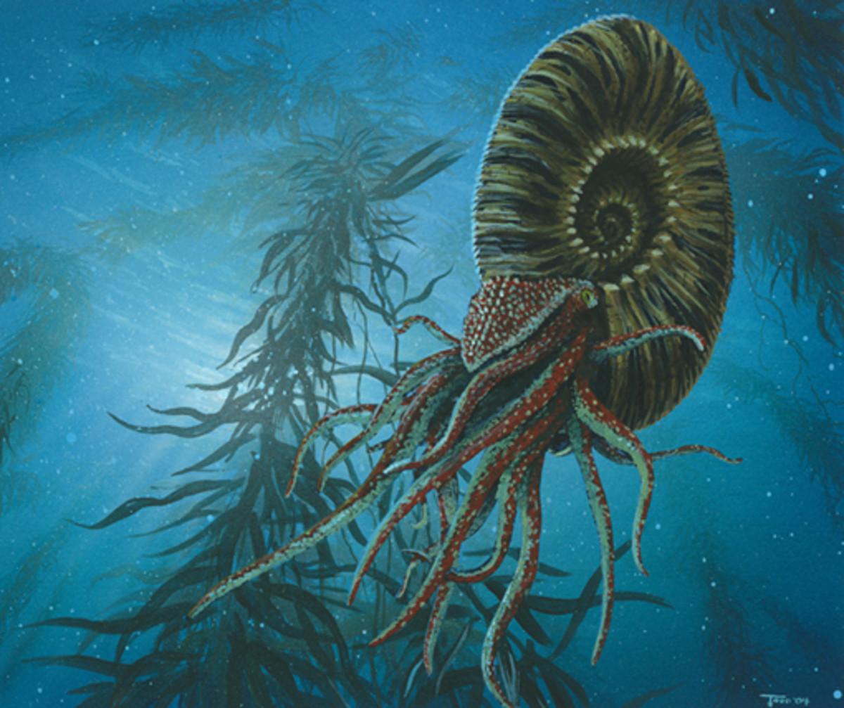 Ammonite TITANITES,SP.