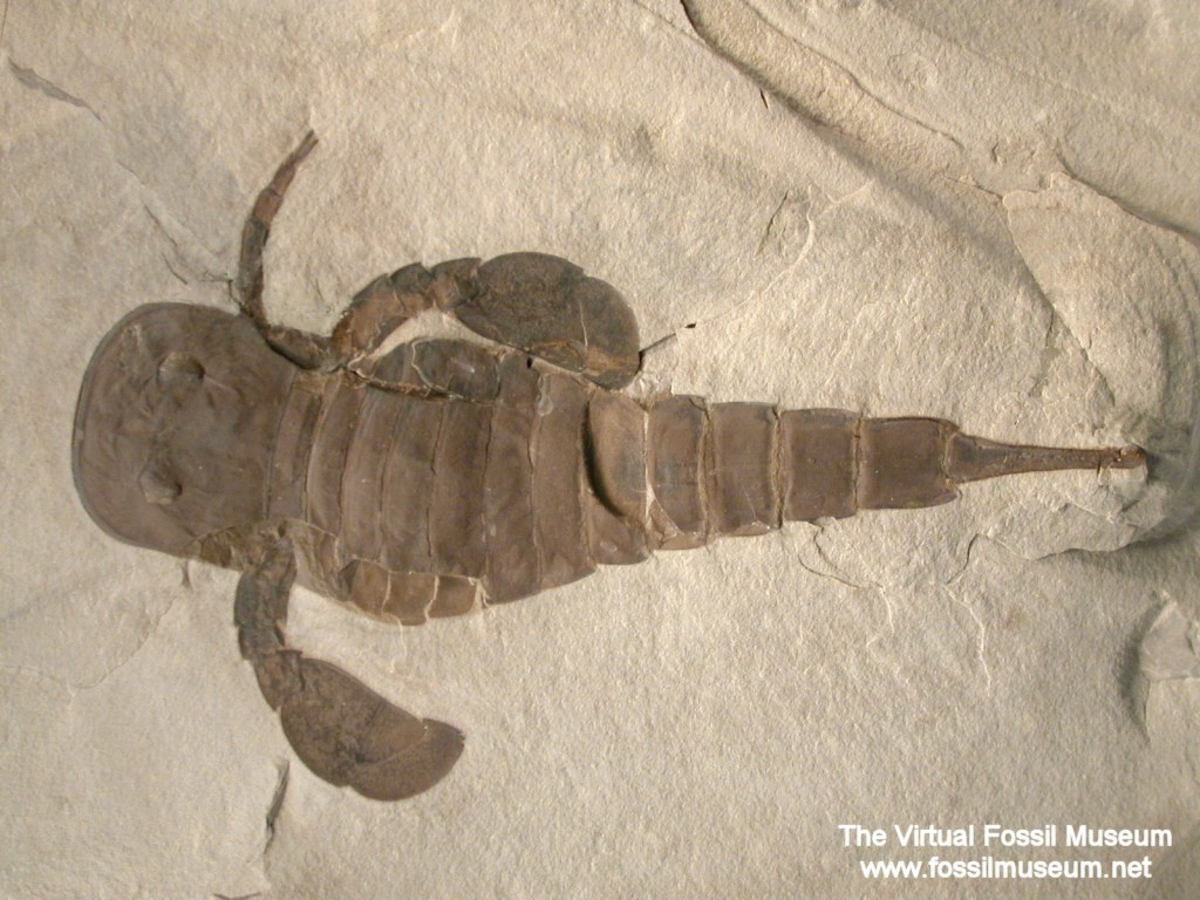 EURYPTERID FOSSIL W MISSING LIMBS