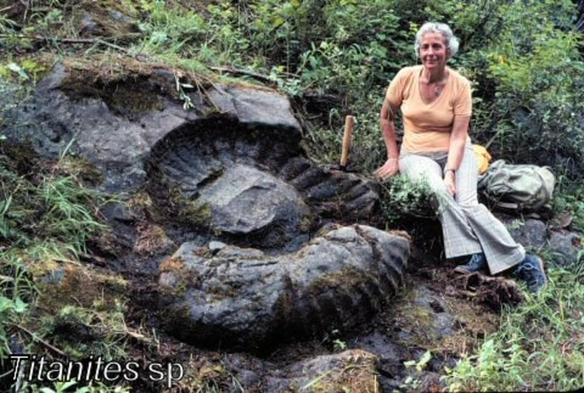 Ammonite TITANITES,SP. FOSSIL