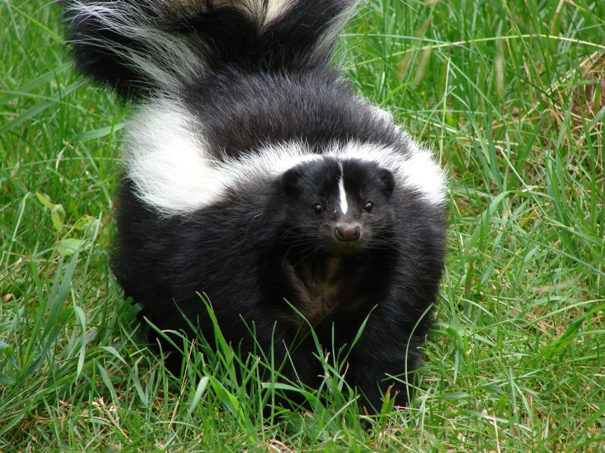 Catching a Skunk On Your Property