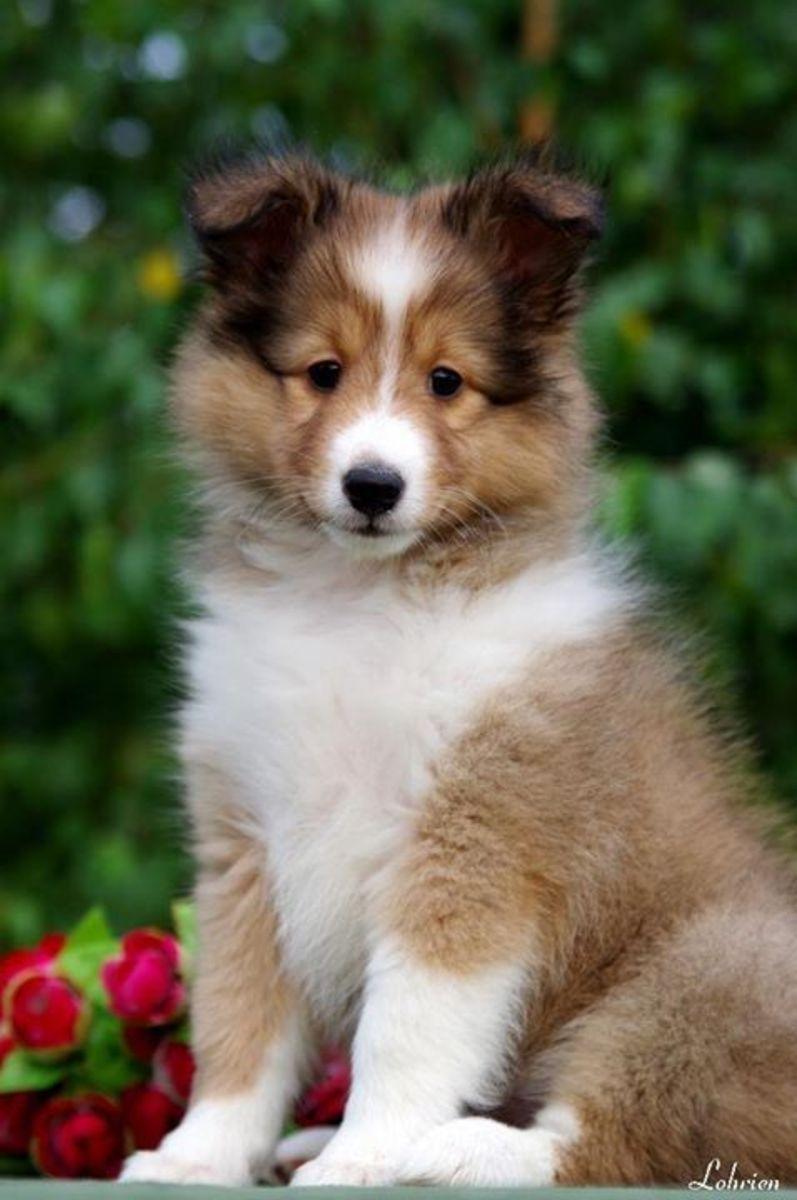 top-5-smartest-dog-breeds
