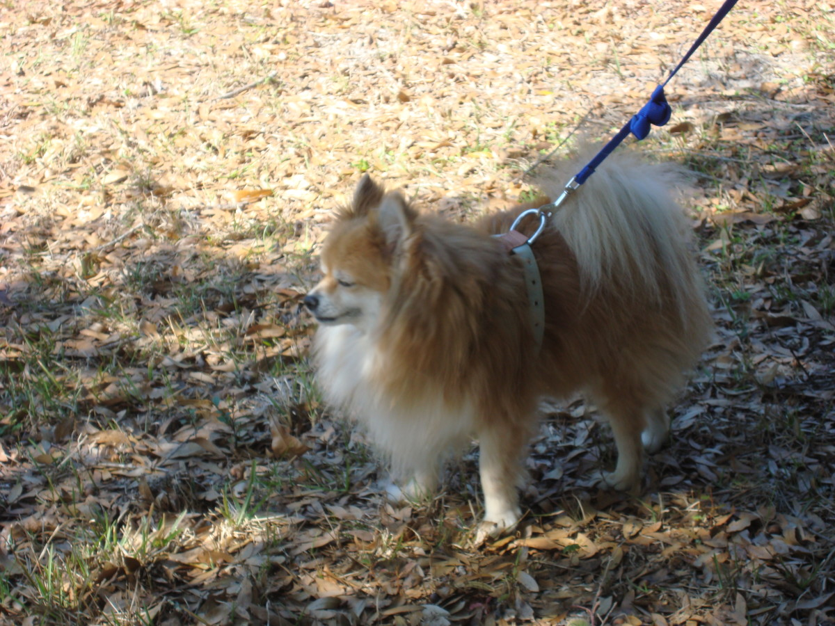 My Sweetie Angel walking with his harness and enjoying the outdoors.