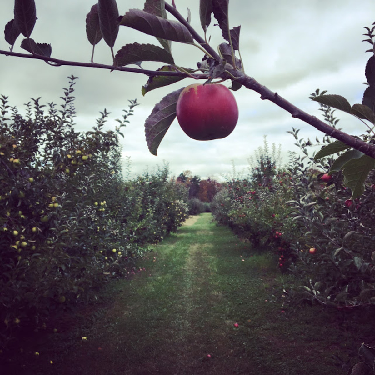 Apple picking in the fall is quintessential New England!