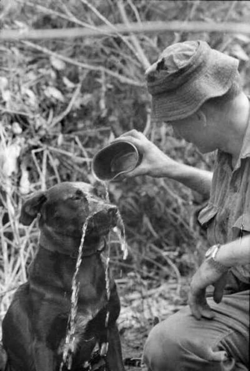 Vietnam, November 1967. Justin, one of two tracker dogs with 7th Battalion, the Royal Australian Regiment (7RAR) has a cup of water poured over his muzzle by his handler, Private Tom Blackhurst of Swansea, NSW. Justin had just successfully located a