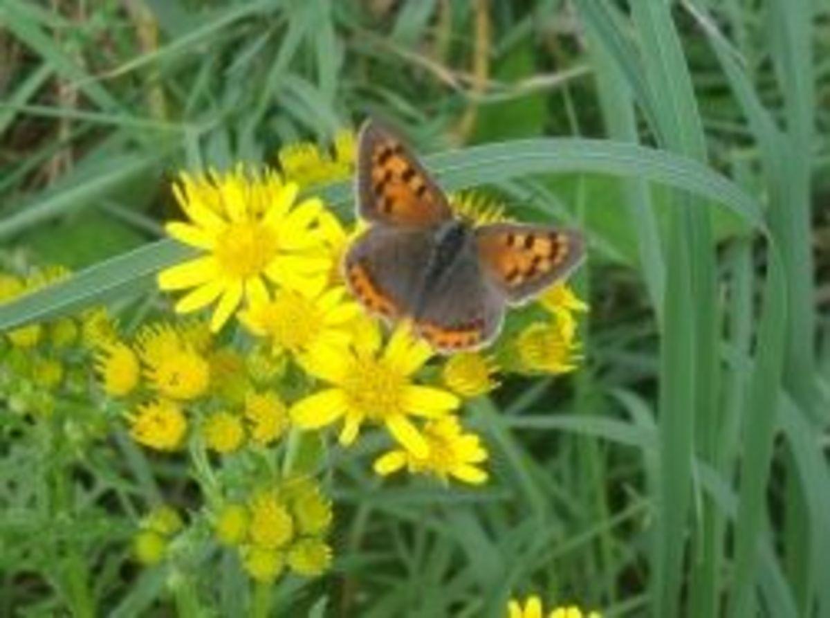 britishbutterflies