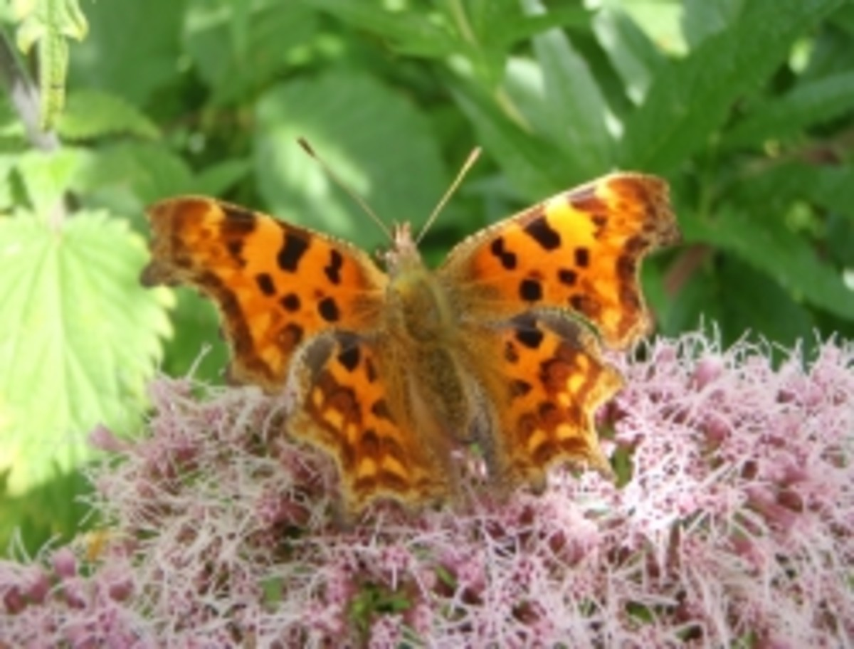 Guide to British Butterfly Identification UK