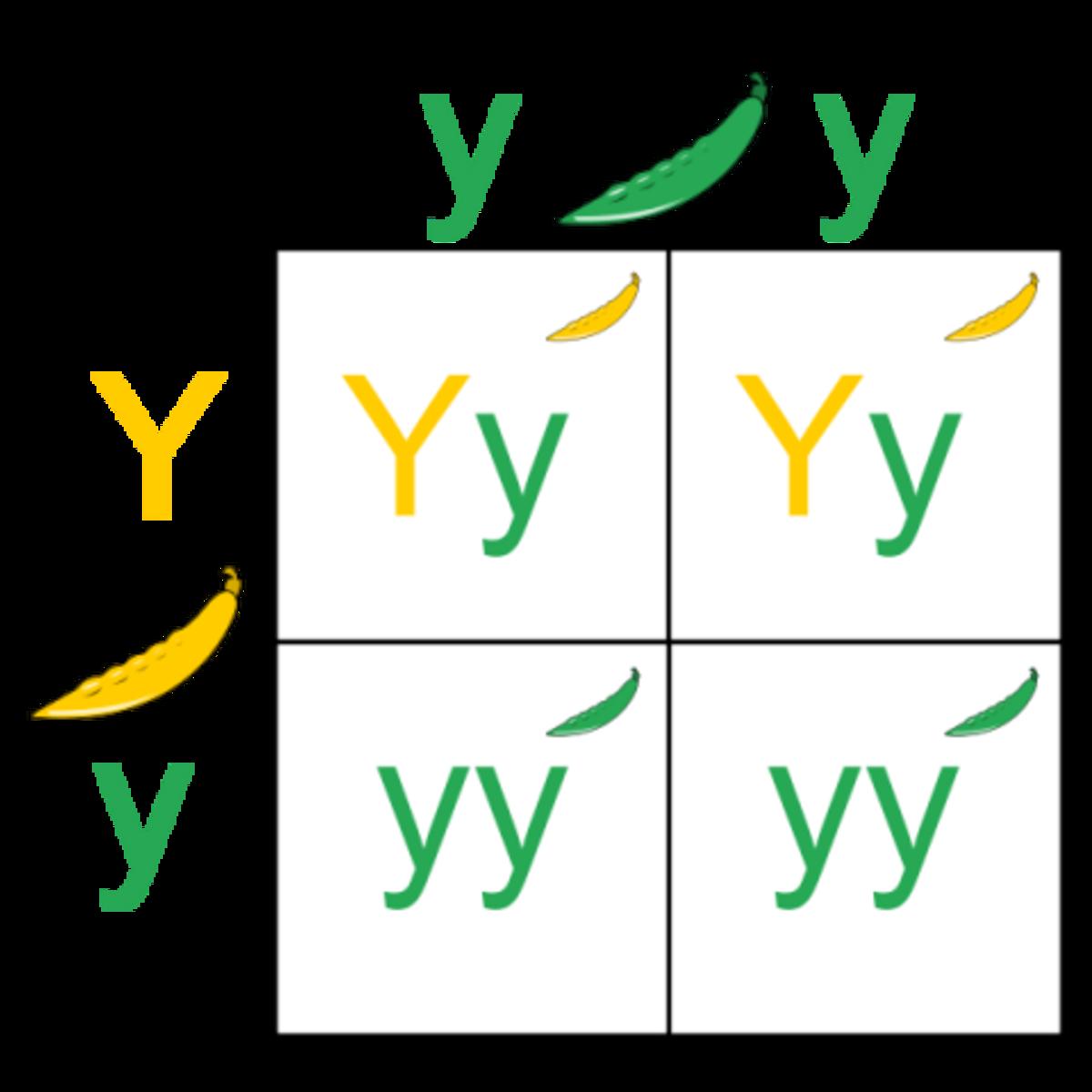 http://amcannon.files.wordpress.com/2009/02/600px-punnett_square_svg.png?w=480&h=480