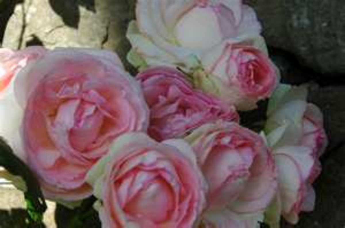 I just purchased six of these for my garden. They are so beautiful. My youngest daughter used them in her wedding bouquet.