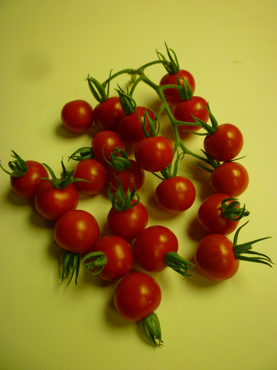 Ripe Cherry Tomatoes Grown Indoors with Tiger Bloom nutrients.