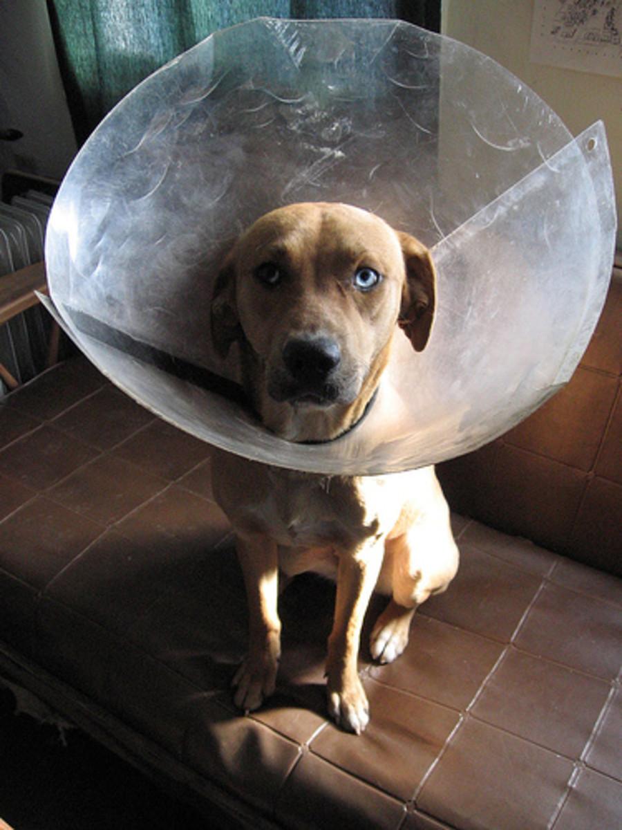 Sad dog with flea collar