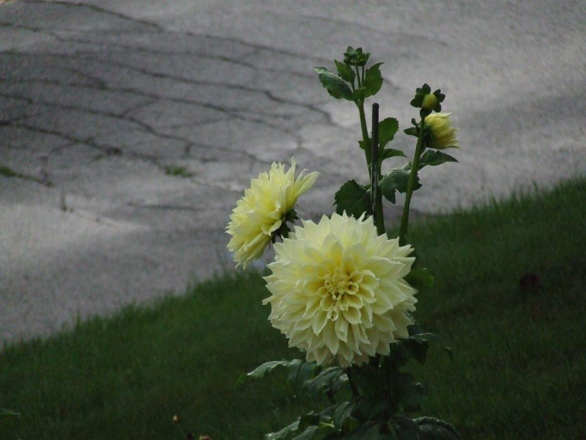 Huge blooms