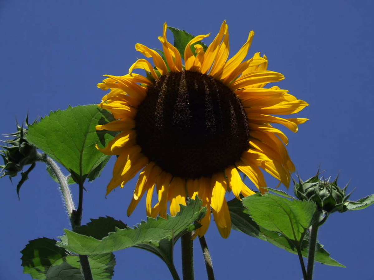 I love the blue sky behind this sunflower, it makes it pop!