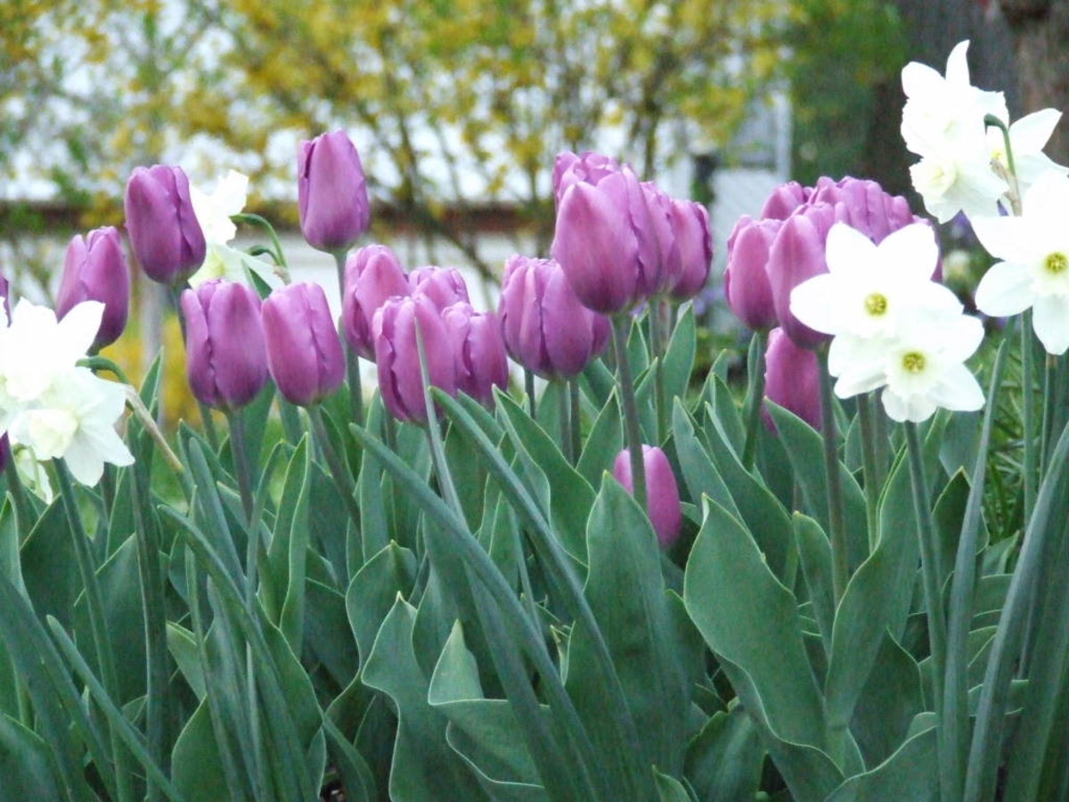 Groups of tulips is always bettr then a row.