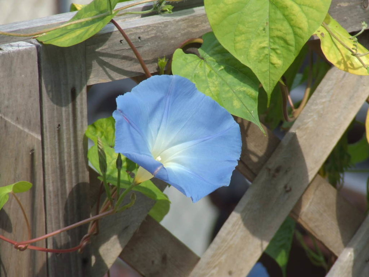 Morning glories will climb anything it can get its vine around, be careful near other plants.