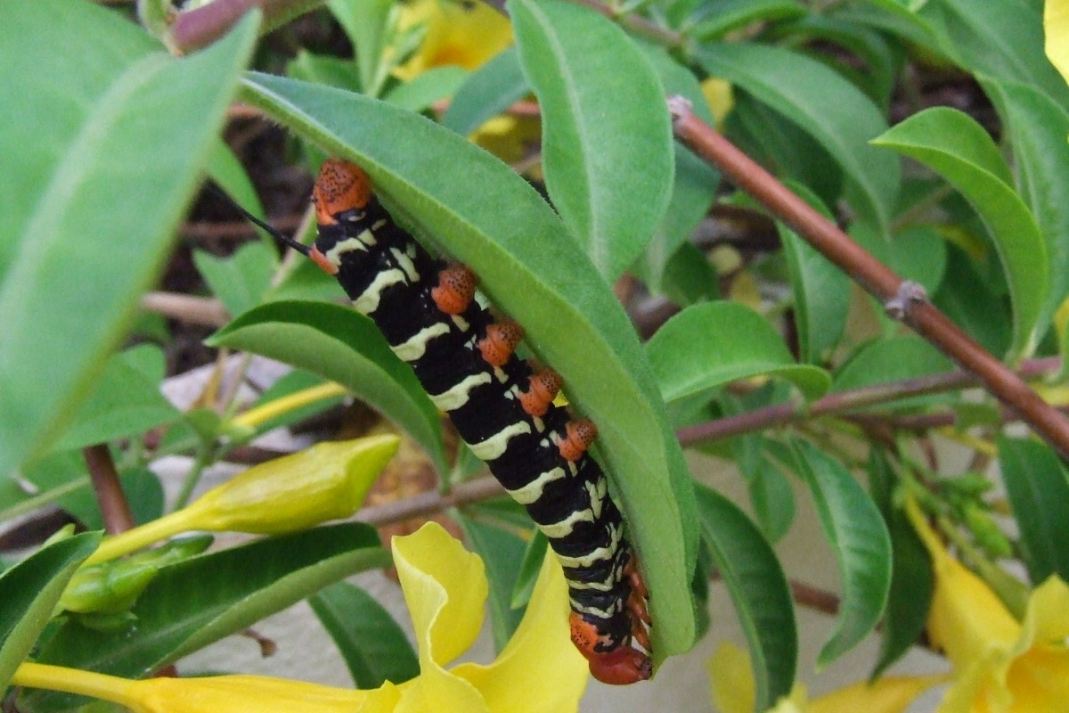 St Lucia caterpillar eating the lilies