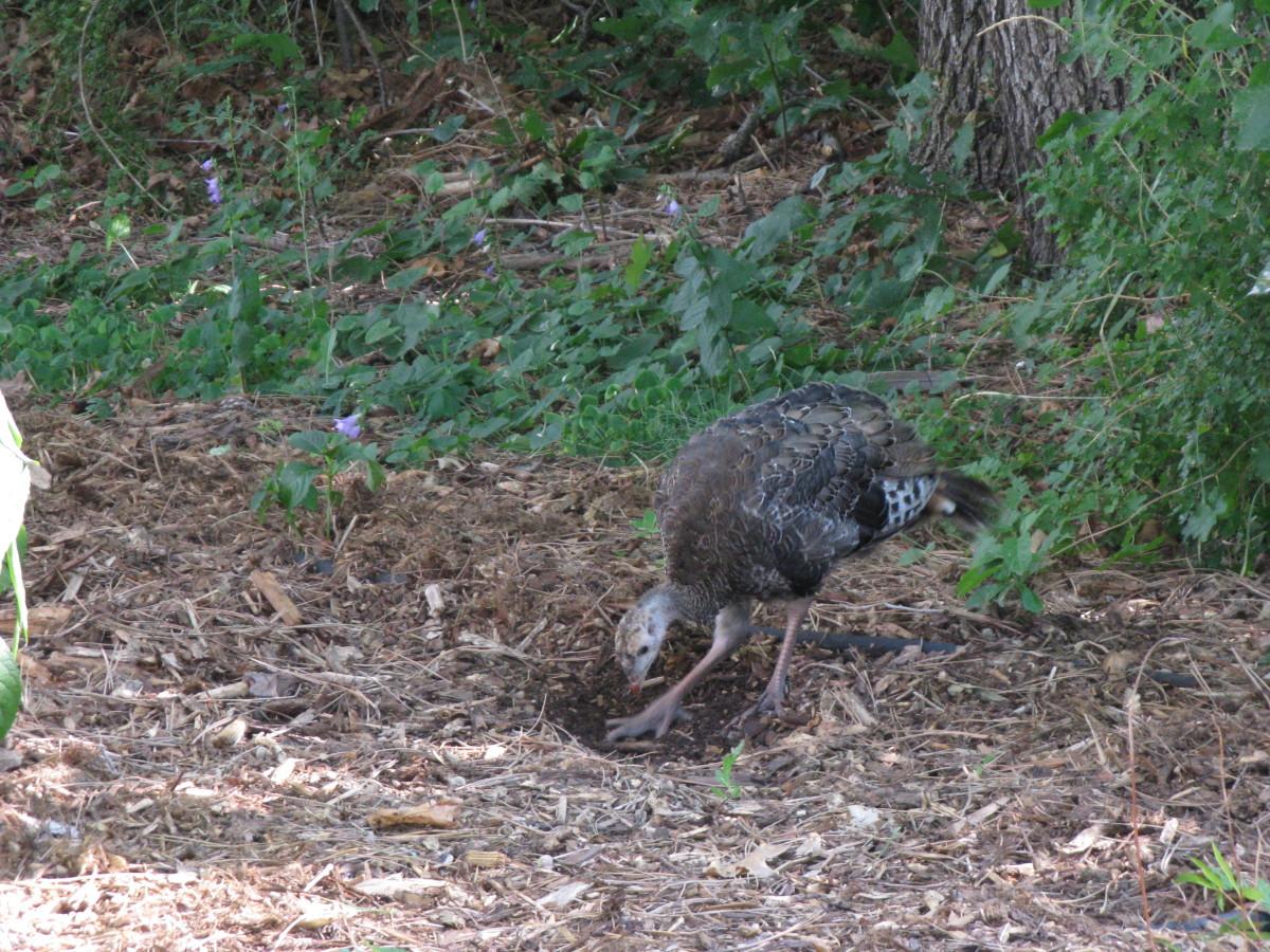 Wild Turkey Caught in the Act