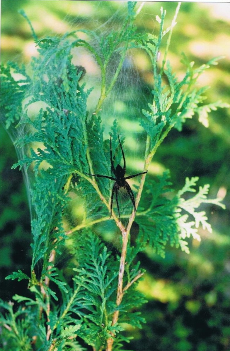 the-little-christmas-spider