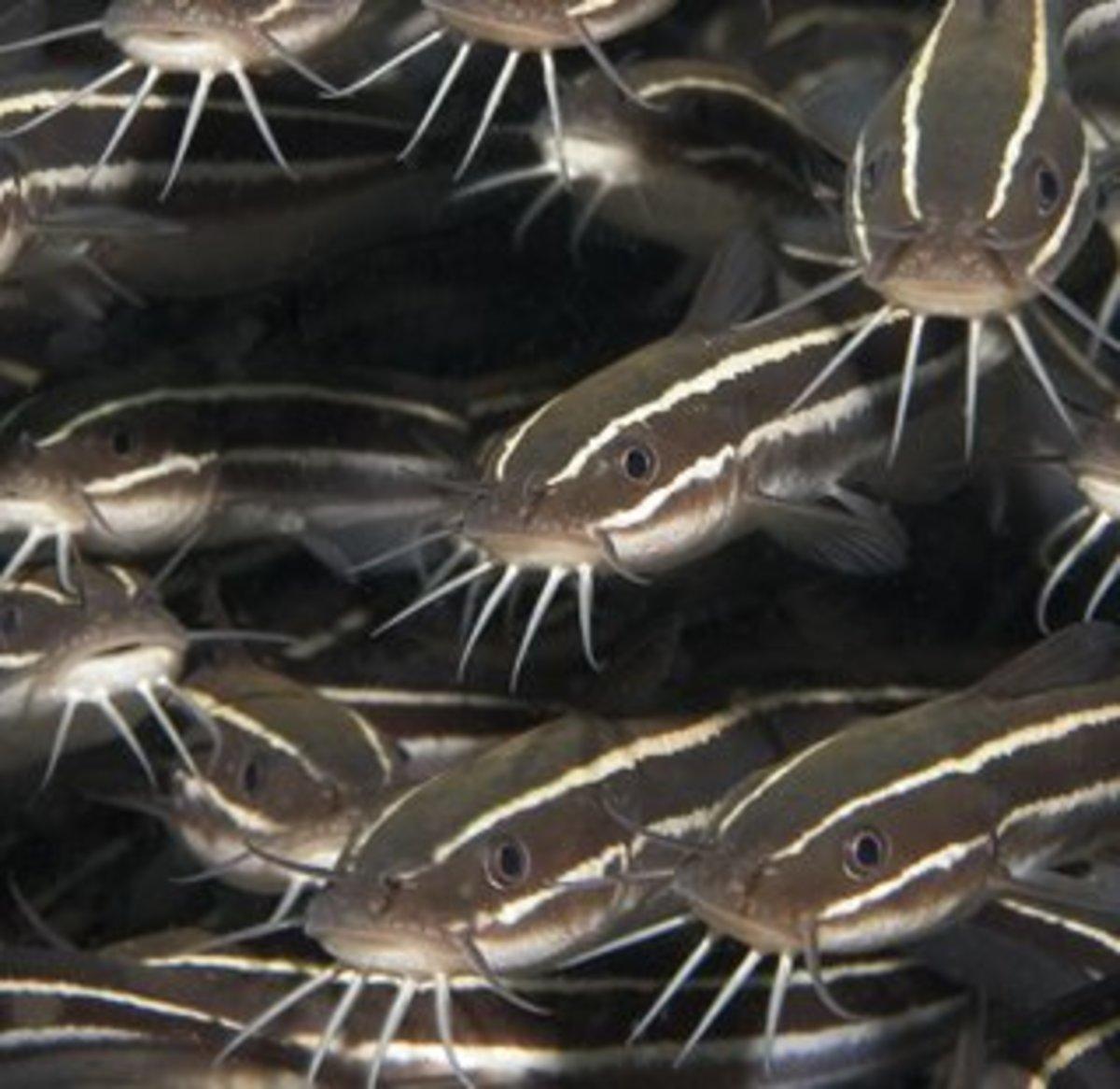 Catfish or Hito (Photo Credts: pinoynegosyo)