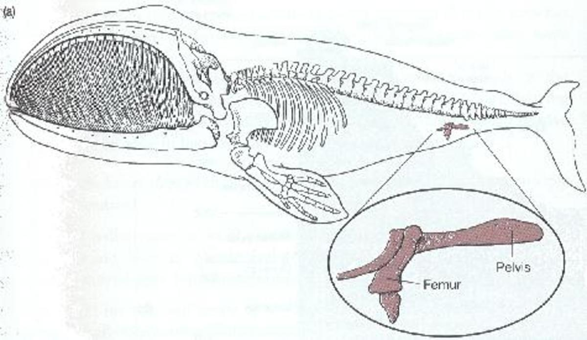 Vestigial structures represent adaptations. This whale lost its ability to walk for its ability to swim. A fair trade-off.