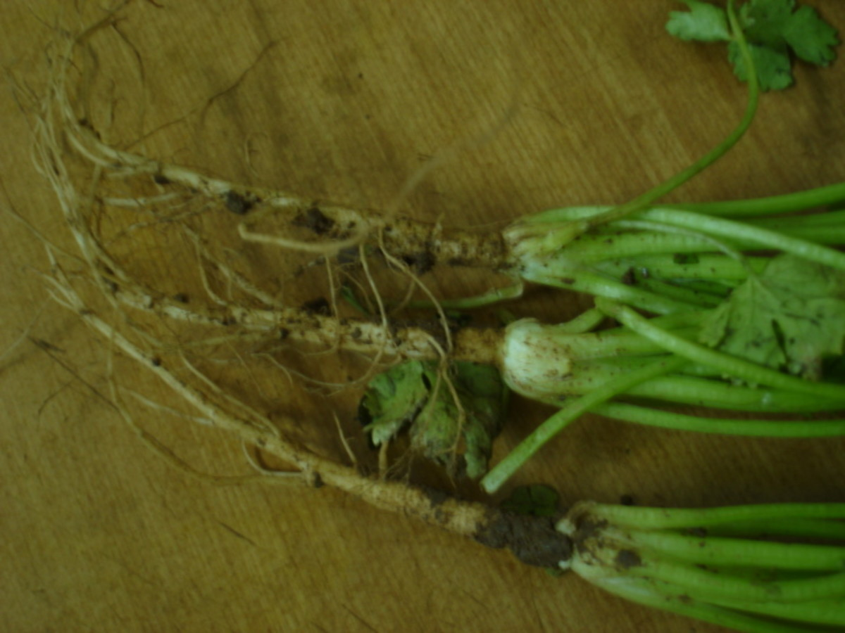 Coriander roots covered with mud