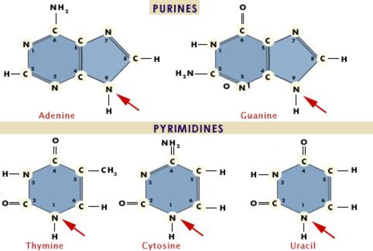 Remember: Purines are larger than the Pyrimidines