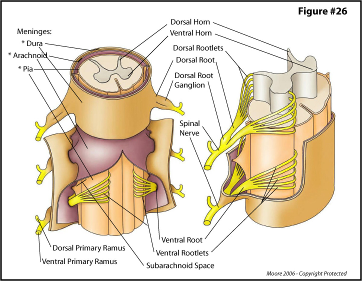 Nerve tissue is a complex network of fibers that often passes through holes in bones