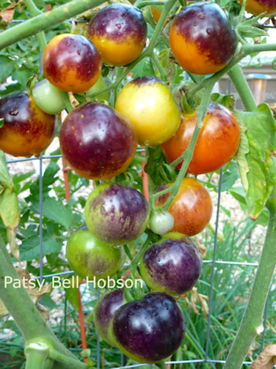 Indigo Rose tomatoes are just bigger than a cherry tomato.