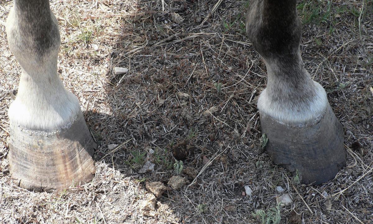 A milder case of hoof neglect