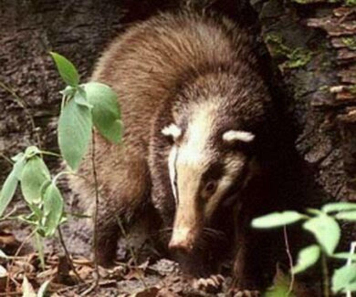the-skunk-or-polecat